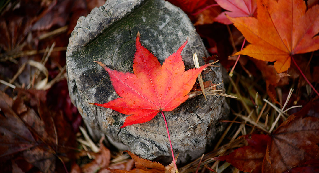modern mystery school maple leaf on a rock